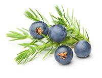 juniper essential oil extraction